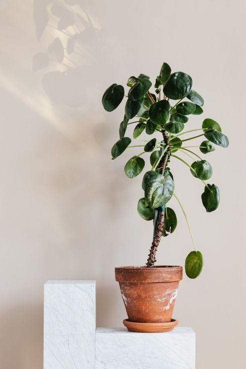 palme-zimmerpflanze